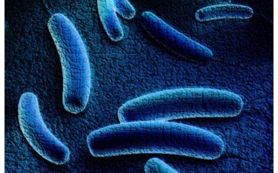 Legionella pneumophila – bakteria niebezpieczna dla człowieka